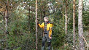 pruning pine in young stand
