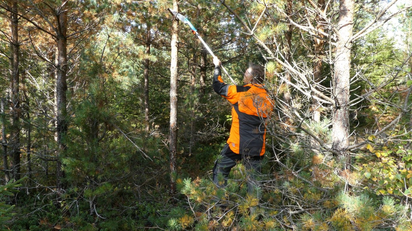 Pruning of pine in a 15 years old stand (video)