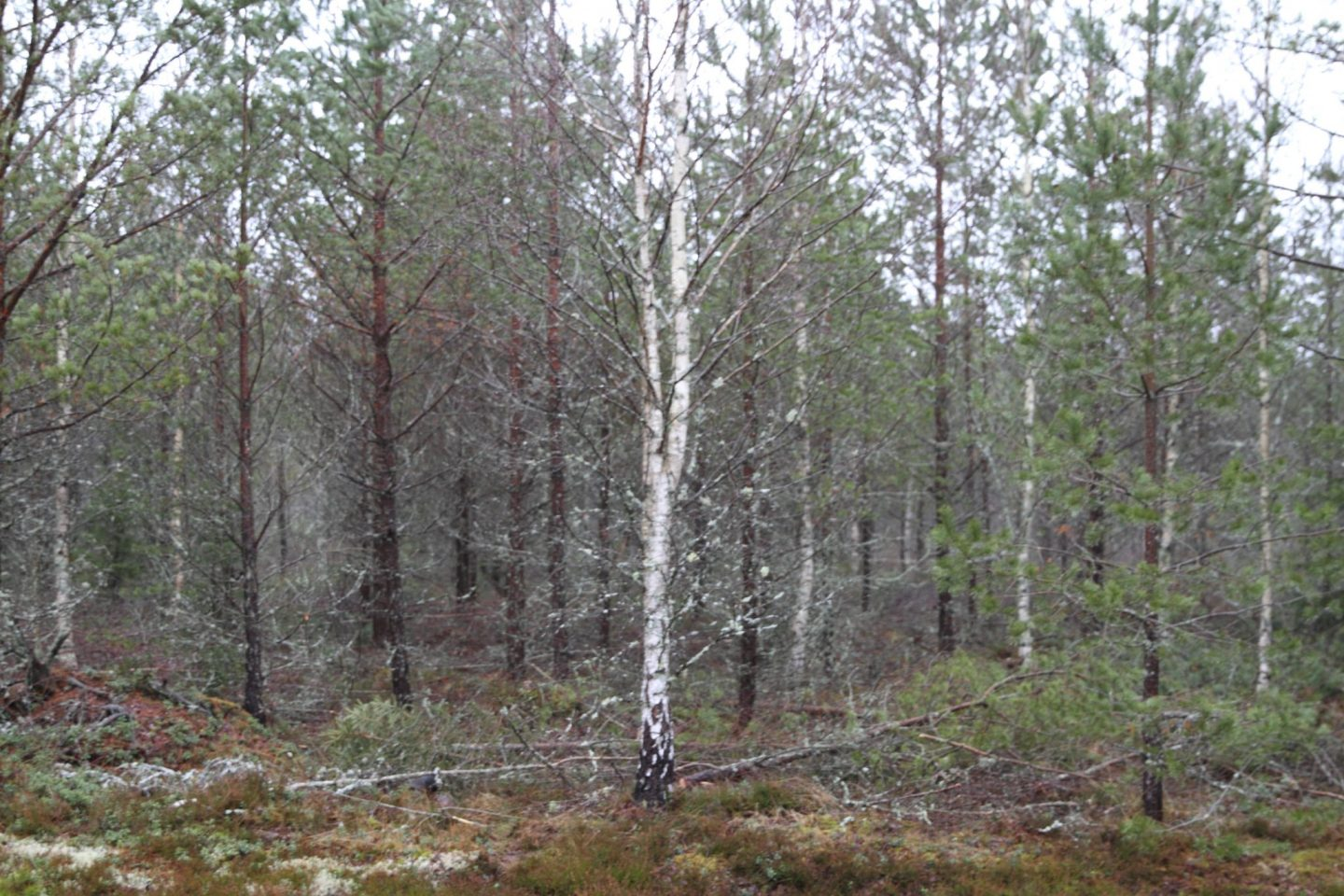 Swedish forestry # 4 – Pre commercial thinning