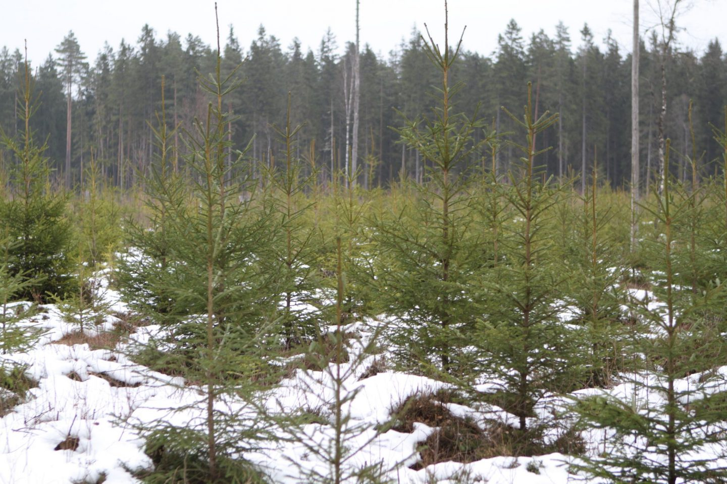 Taxonomy – does it matter for forestry?
