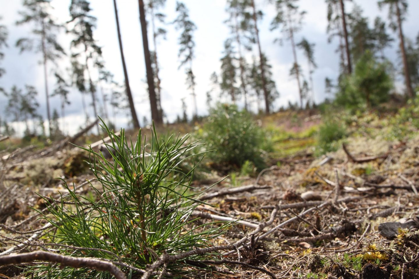 Sowing the forest – A good alternative?